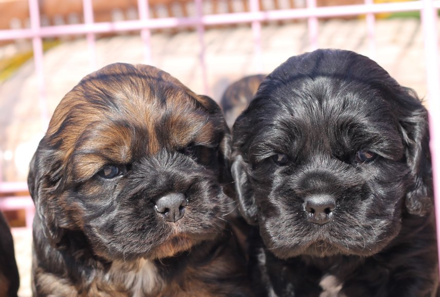 Home Cheryls Cocker Spaniel Puppies For Sale